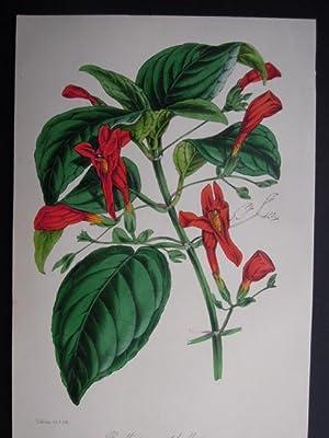 Ruellia macrophylla. Handkolorierte Lithographie aus Paxton s: Holden, Samuel: