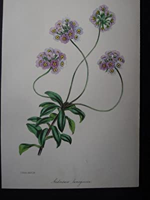 Androsace lanuginosa. Handkolorierte Lithographie aus Paxton s Magazine of Botany and Register of ...