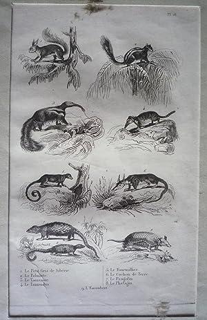 Gravure d'animaux (Buffon) : Petit gris de