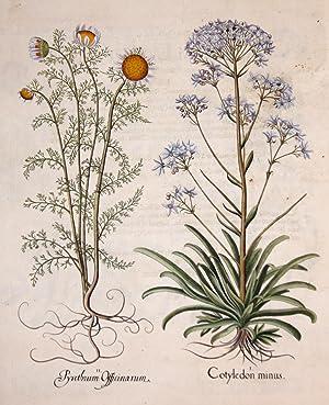 Cotyledon minus/ Pyrethrum Officinarum: Besler Basilius (1561