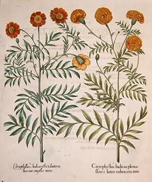 Caryphullus Indicus plenus flore e luteo rubescens: Besler Basilius (1561