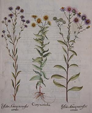 Conyza media/ Aster Atticus minor flore coeruleo/: Besler Basilius (1561