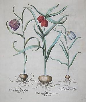 Meleagris flos maximus Italicus/ Fritillaria flore pleno/: Besler Basilius (1561