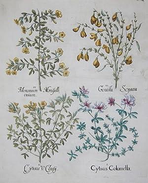 Cytisus Columellae/ Cytisus V.Clusy.: Besler Basilius (1561
