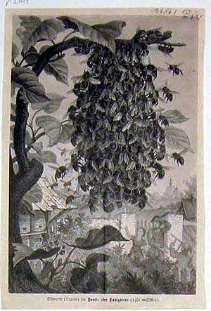 Schwarm der Haus- oder Honigbiene ( Apis mellifica ).: BIENEN.