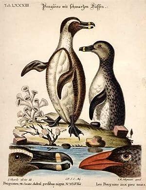 Penguins mit schwarzen Füssen - Penguines, ex Oceano Australi, pedibus nigris.N°83 IV Theil - Les ...