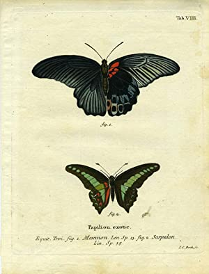 Papilion. Exotic: ButterflyMoth Engraving] Bock, I.C.