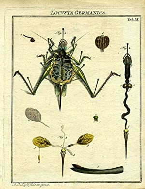 Locusta Germanica: Locust Engraving] Rosel, A J.