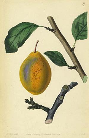 A Pear Print from the Pomological Magazine: Lindley, John. Augusta Innes Withers
