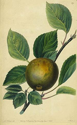 An Apple Print from the Pomological Magazine: Lindley, John. Augusta Innes Withers