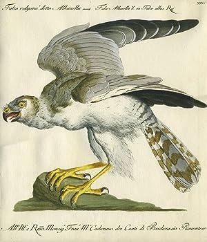 """Falco Volgarm. detto Albanella, Plate XXXV, engraving from """"Storia naturale degli uccelli ..."""
