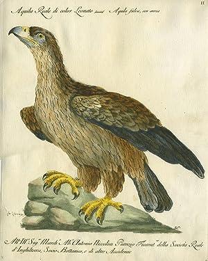 """Aquila Reale di color Leonato, Plate II, engraving from """"Storia naturale degli uccelli trattata..."""
