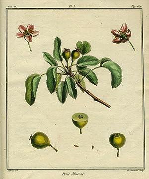 """Petit Muscat, Plate I, from """"Traite des Arbres Fruitiers"""": Duhamel Du Monceau, Henri Louis"""