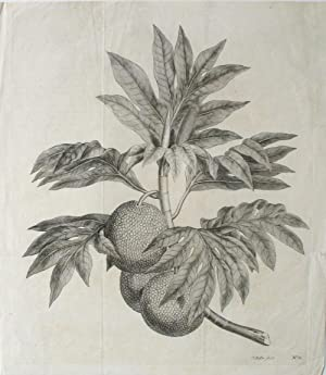 Breadfruit Engraving from Cook's first voyage. (A branch of the bread-fruit tree with the fruit)