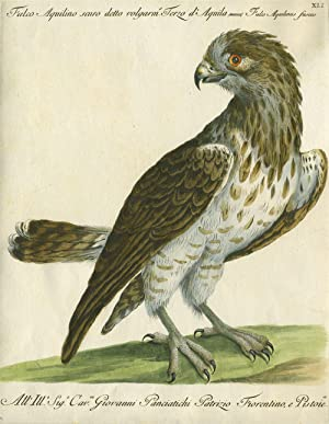 "Falco Aquilino scuro detto volgarm, Terzo d'Aquila, Plate XLI, engraving from ""Storia ..."