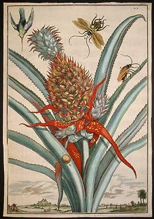 "Pineapple, Tab I from ""Nurnberische Hesperides"": Volckamer, Johann"