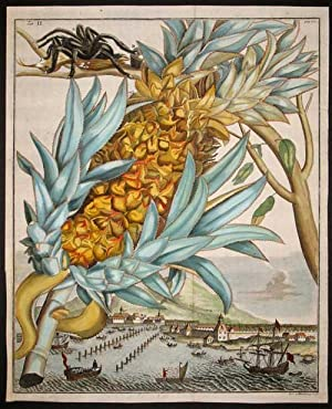 "Pineapple, Tab II from ""Nurnberische Hesperides"": Volckamer, Johann"