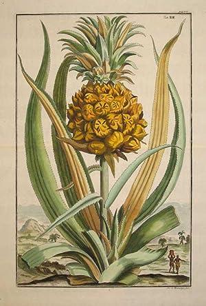 "Pineapple, Tab III from ""Nurnberische Hesperides"": Volckamer, Johann"