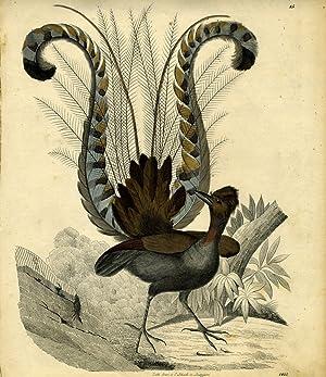Lyre Bird engraving: Schach, C, lithographer