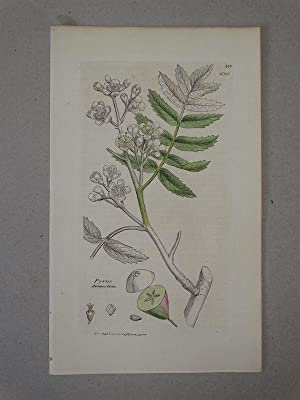 Pyrus domestica (Kultur-Birne). Plate No. 350 / 698, from