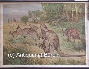 Känguru [Känguruh - kangaroo]. Rollbild für den Unterricht in der Schule. [...
