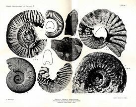 Die Ammonitenfauna der obertithonischen Kalke von Neuburg a.D.: Scheid, Theodor: