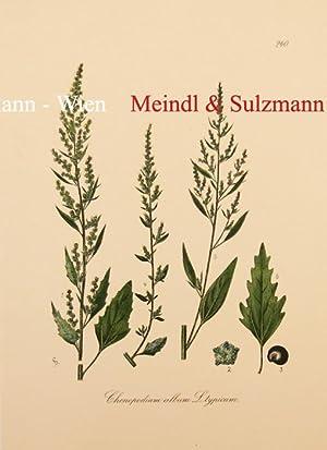 Deutschlands Flora. Als Beleg für die Flora: Chenopodium album L.