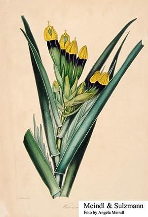 "Paxton, Joseph. Magazine of Botany [.].: Witsenia maura"".- Alkol."