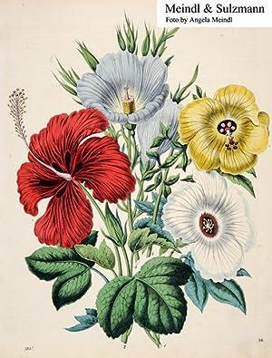 """Das Buch der Welt"""".: Hibiscus-Arten.- Altkol. Lithografie"""