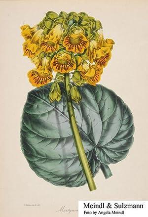 "Martynia lutea"". Aus: Paxton, Joseph. Magazine of: Ibicella lutea -"