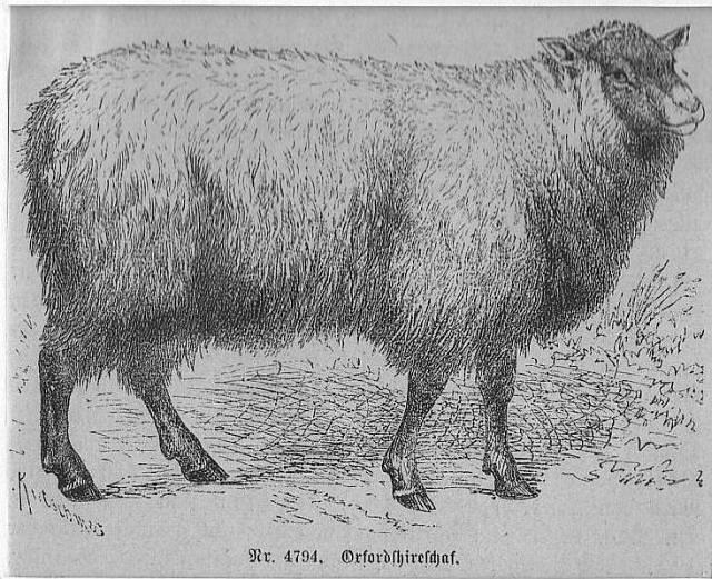 Schafe, Oxfordshireschaf **.** Holzstich, um 1880, 7x9: Kretschmer