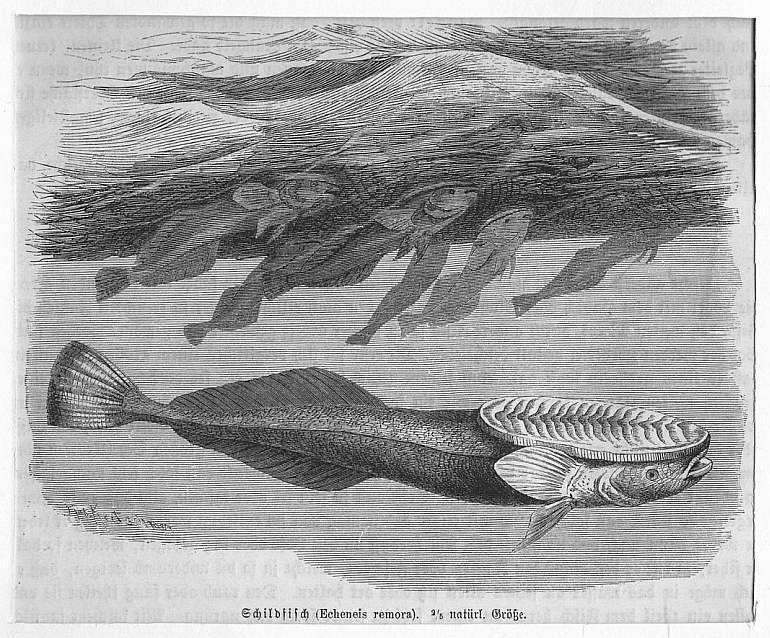 Schildfisch (Echeneis remora) **.** Holzstich, um 1890,: Kretschmer