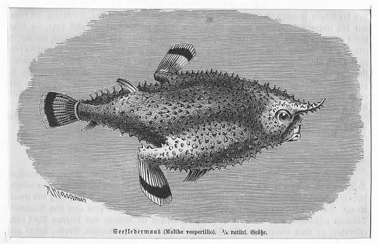 Seefledermaus (Malthe vespertilio) **.** Holzstich, um 1890,: Kretschmer