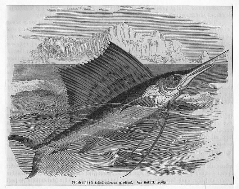 Fächerfisch (Histiophorus gladius) **.** Holzstich, um 1890,: Kretschmer