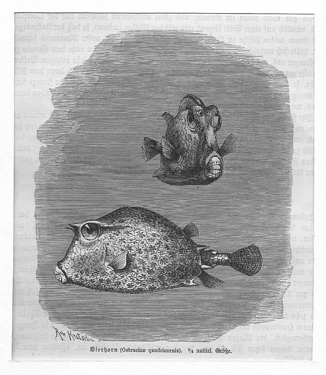 Vierhorn (Ostracion quadricornis) **.** Holzstich, um 1890,: Kretschmer