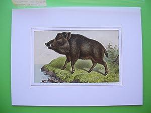 Wildschwein (Sus scrofa). //