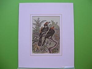 Doppelhornvogel (Buceros bicornis). Zwei Exemplare auf einem Ast sitzend. //