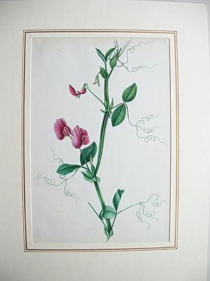 Duftwicke: Pflanzenmalerei)