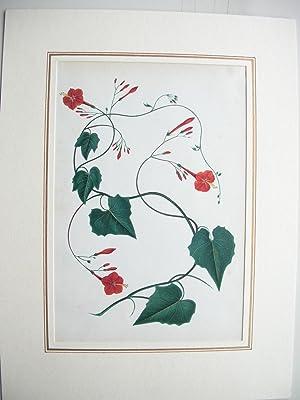 Winde (Convolvulus) //: Pflanzenmalerei)