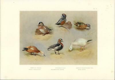 1921 Antique Print HARLEQUIN DUCK RUDDY SHELD SNOW RED BREASTED GOOSE (16TB)   [ ] (bi_30445399570) photo