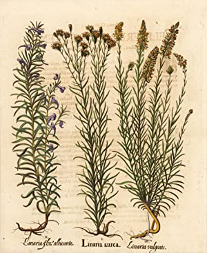 Linaria aurea: Besler, Basilius