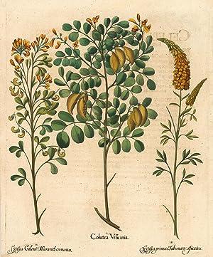 Colutea Vesicaria: Besler, Basilius