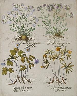 Ranunculus nemo rosus flore pleno: Besler, Basilius