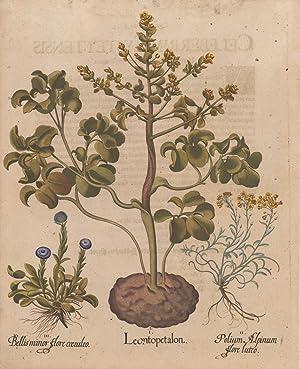 Leontopetalon. II. Polium Alpinum flore luteo. III.: Besler, Basilius