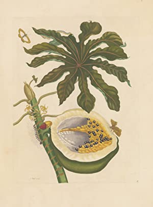 Plate No: 40 Papaja