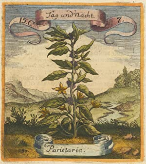 Tag und Nacht - Parietaria Handcolored copper engraving by the Merian published by Bernhard Valen...