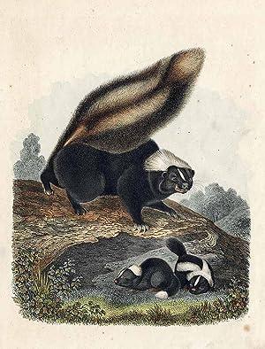 """Smierdziel amerykanski""""] [Skunks zwyczajny]"""