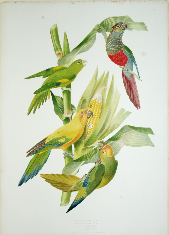 Tab .10 Conurus Cruentatus.: Jean Theodore Descourtilz