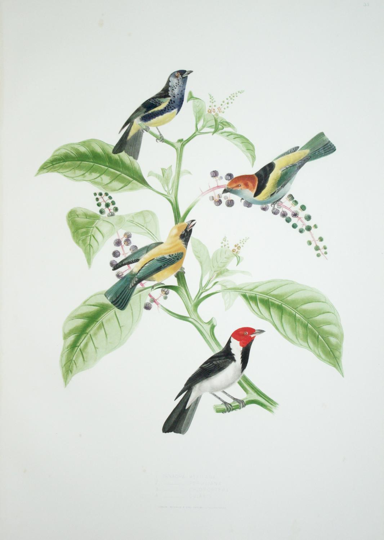 Tab. 35 Tanagra Mexicana.: Jean Theodore Descourtilz