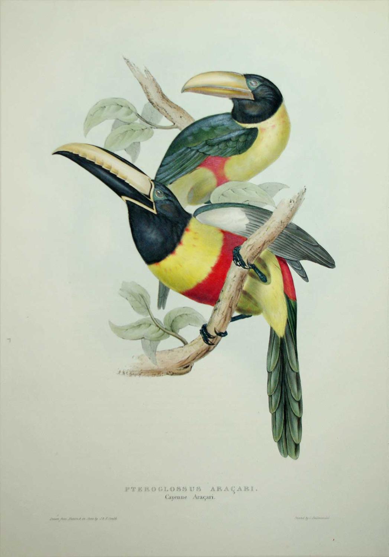 Pteroglossus Aracari. Cayene Aracari.: John Gould